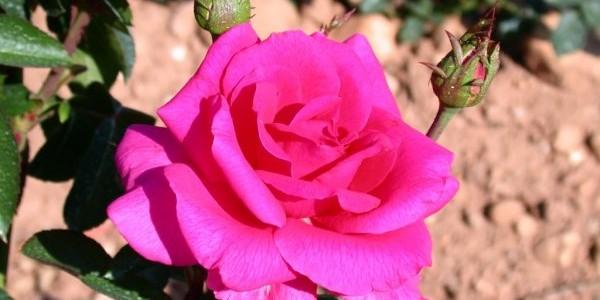butasi-de-trandafiri-criterion-2913