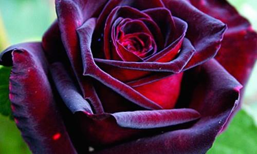 trandafir-black-magic