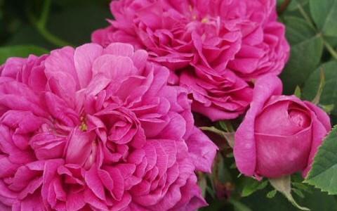 trandafir-rose-r