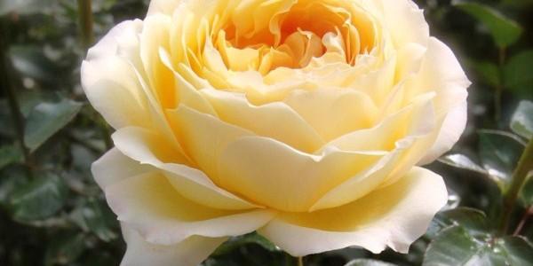 trandafir-vanila